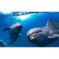 Tapet autocolant -Dolphins - 150x250cm